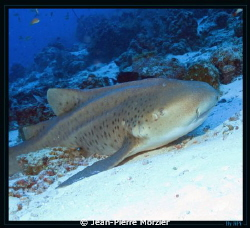 Requin l&#233;opard, croisi&#232;re Maldives 2012 by Jean-Pierre Morzier 